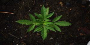 Industrihampa i Sverige - Cannabis Sativa